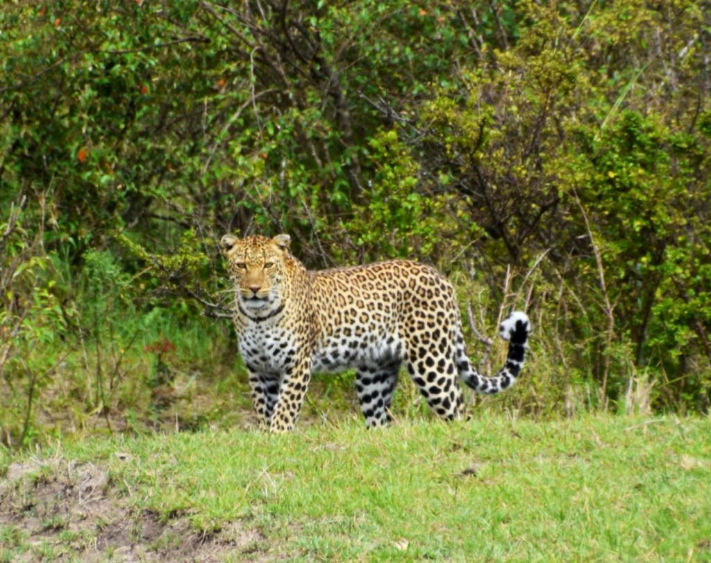 This leopard saw us first!
